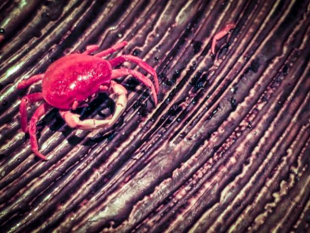crab ltPSi.JPG